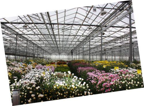 Pracownik szklarniowy przy kwiatach w Niemczech