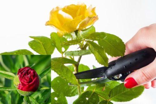 Pracownik do ścinania i sortowania róż i peonii w Holandii
