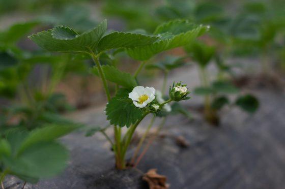Praca przy sadzonkach truskawek w Holandii